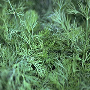 DILL GOLDKRONE Image